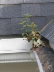 Clogged gutters give mosquitoes the perfect place to breed.